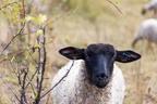 52-52-Woche15 -- <p> Schau mir in die Augen ... Schaf auf freier Wildbahn.</p>